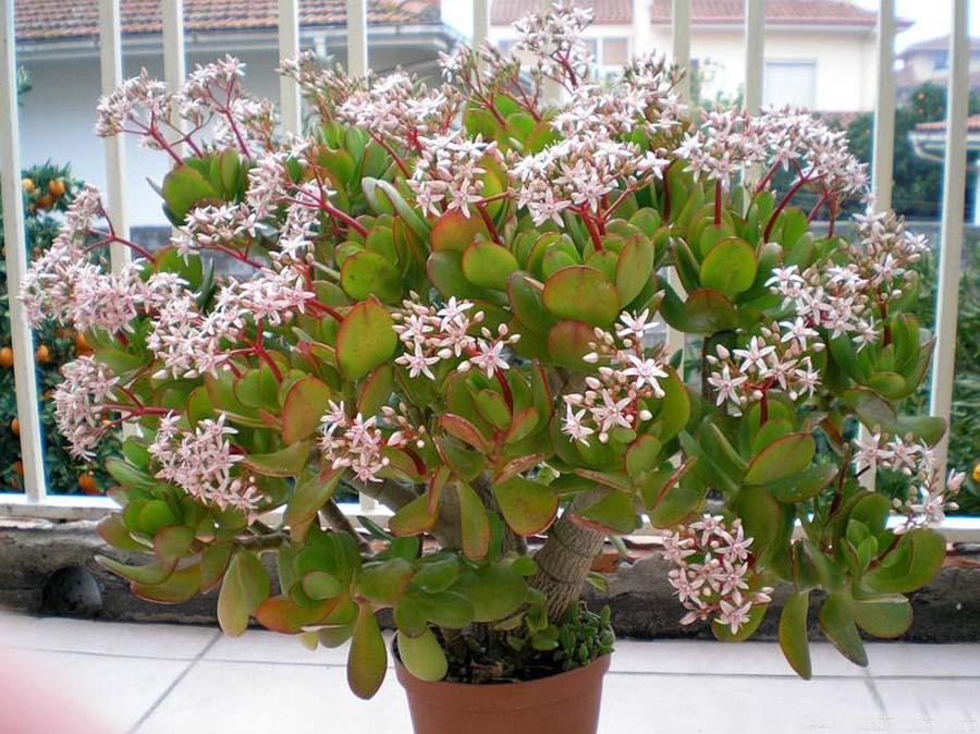 Как цветет денежное дерево цветок