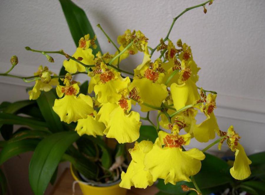Уход за орхидеей онцидиум в домашних условиях