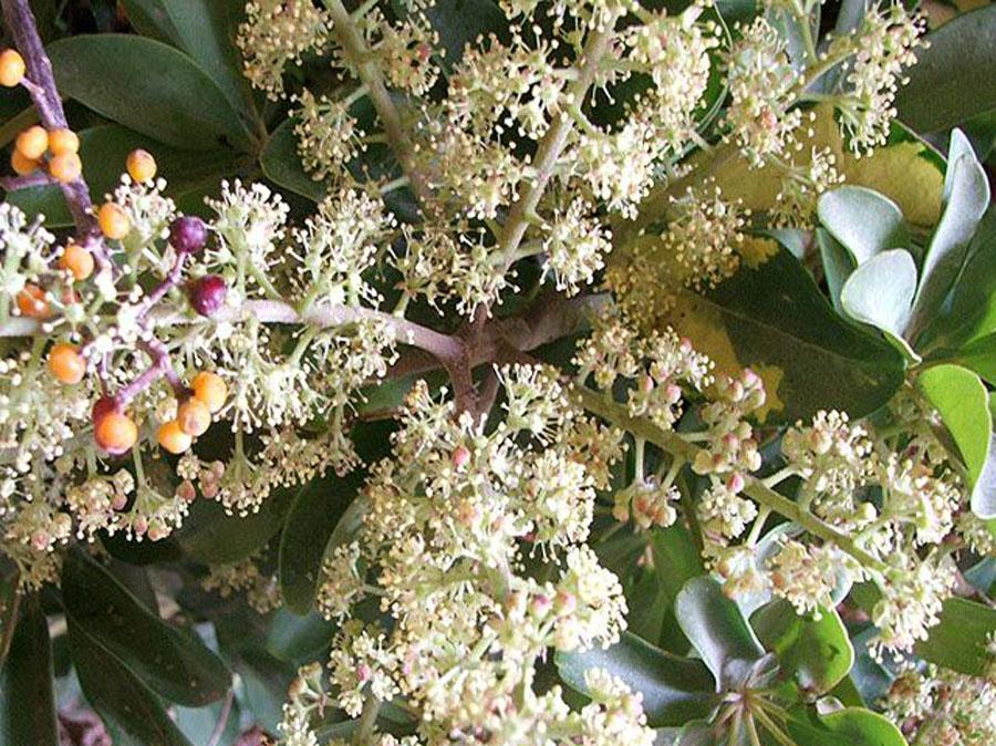 Шефлера цветок цветение