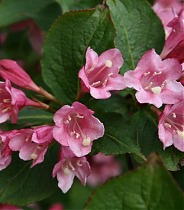 Вейгела ранняя Букет Роуз - Weigela praecox Bouquet Rose D2 H12