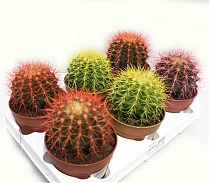 Эхинокактус Грузони микс - Echinocactus grusonii painted mix D9 H15