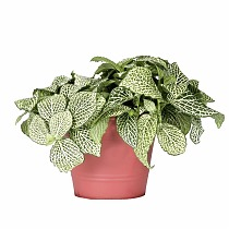 Фиттония - Fittonia Purple Anne D9 H10