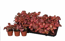 Фиттония микс - Fittonia verschaffeltii Red Star D9 H10