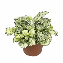 Фиттония - Fittonia Mosaic Kings Cross D9 H10