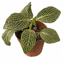 Фиттония Мозаик Пурпл Ангел - Fittonia Mosaic Purple Angel D9 H10