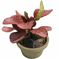 Фиттония - Fittonia verschaffeltii Red Star D9 H10