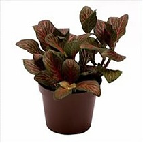 Фиттония - Fittonia verschaffeltii Red Angel D9 H10