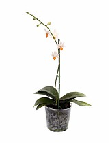 Фаленопсис мини 1 цветонос - Phalaenopsis Mini Mark  D9 H15